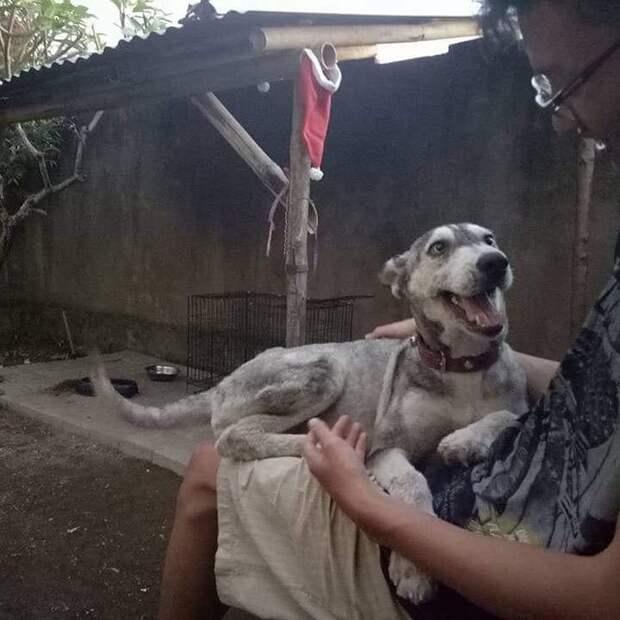 Лечение и хорошее питание принесли результаты бали, животные, история, собака, спасение, фото, хаски