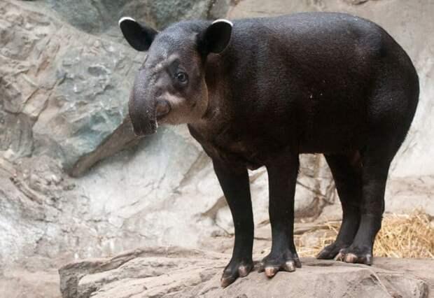 Центральноамериканский тапир или тапир Бэрда (Tapirus bairdii) фото