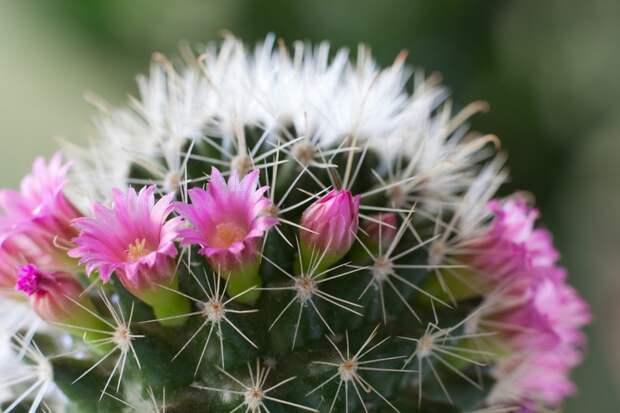 кактус который цветет
