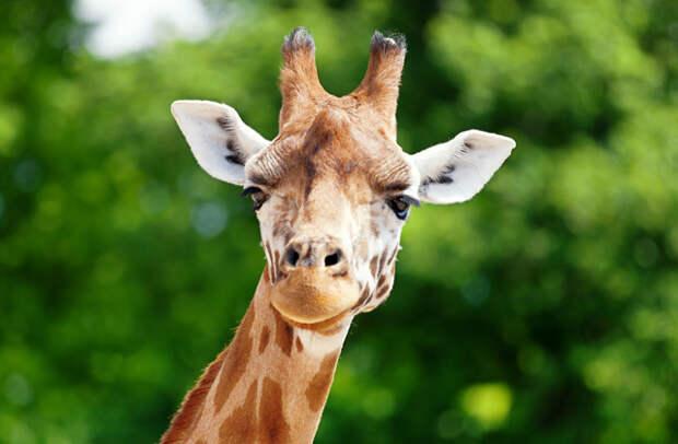 зачем жирафу рога