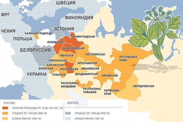 5 фактов о том, как в СССР распространяли борщевик, а мы теперь страдаем