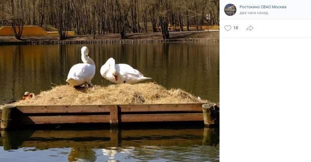 Фото дня: пару лебедей заметили в Саду будущего