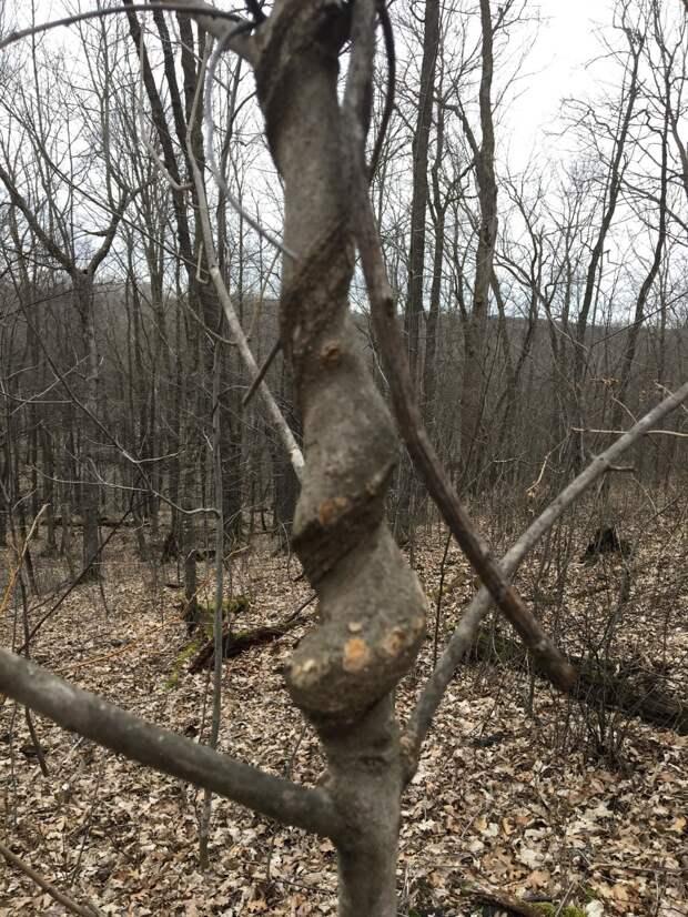 Деревья могут закручиваться по спирали по разным причинам.