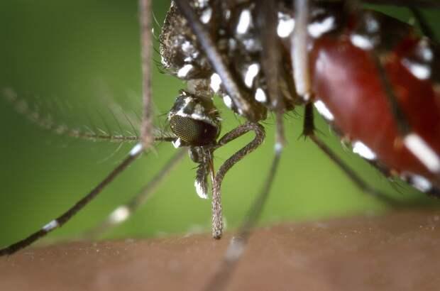 Как комар пьет кровь: видео