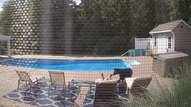 Медведь разбудил уснувшего перед собственным бассейном американца