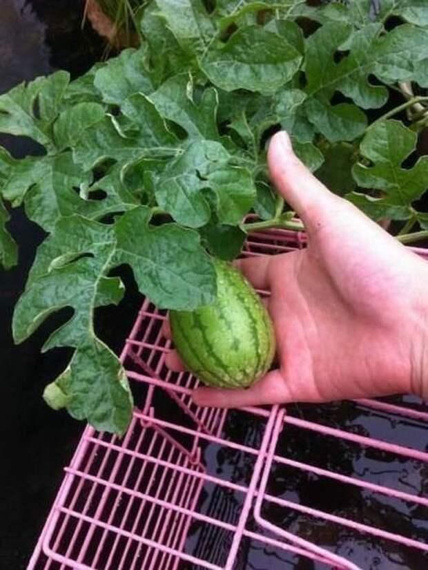 Как рос арбуз арбуз, созрел, ягода