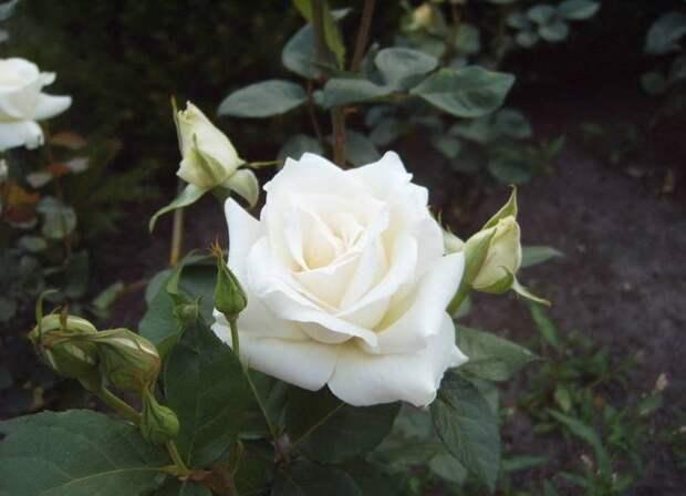 Чтобы на участке красовались розы
