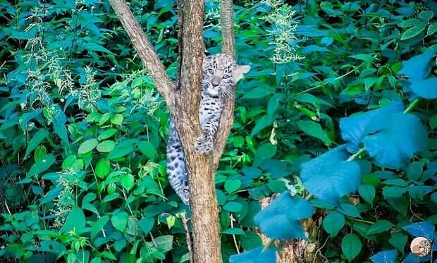 Детеныш леопарда родился в Центре восстановления в Сочи