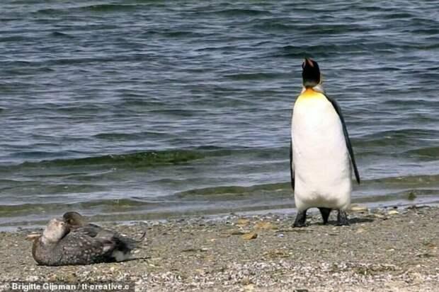 Видео забавной реакции пингвина на встреченную им утку видео, животные, забавные животные, пингвин, пингвины, птицы, смешные животные, утки