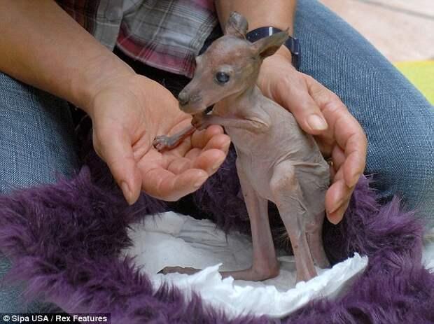 В немецком зоопарке выращивают маленького кенгуру