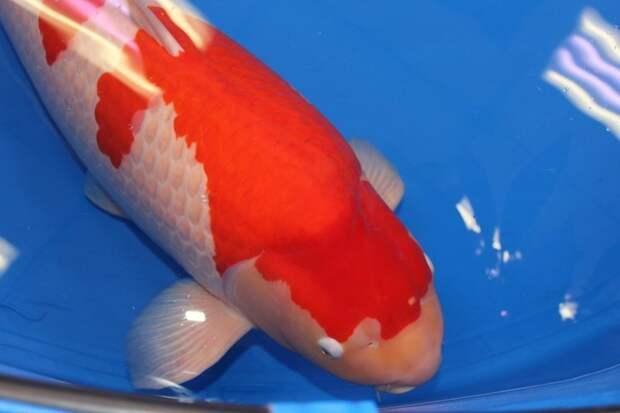 9-летний карп кои Эс Ледженд стал самым дорогим лотом аукциона в Хиросиме  аукцион, карп кои, рекорд, рыба, торг, фото, япония
