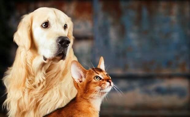 Ретривер и кот абиссинской породы