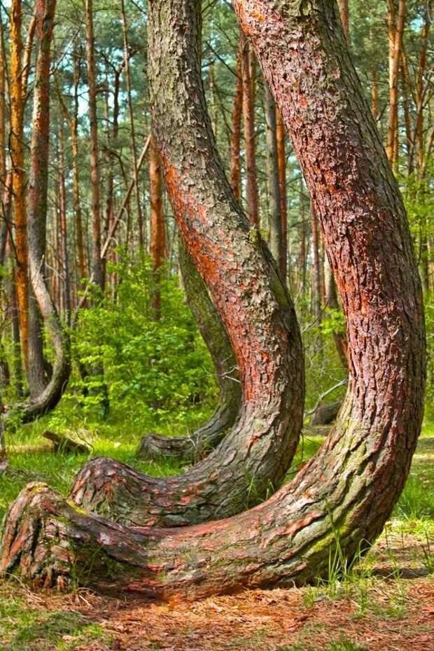 Другая теория утверждает, что деревья были специально выращены изогнутыми, возможно, судостроителем или плотником
