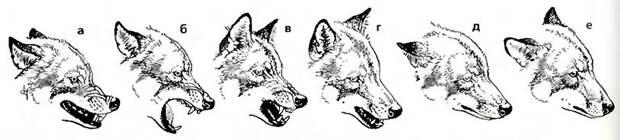 Изменение мимики волка в зависимости от передаваемой информации: от агрессивной защиты (а) через крайнюю степень защиты (б) к очень вызывающей (в), игривой (г), подчинённой (д) и дружественной (е).