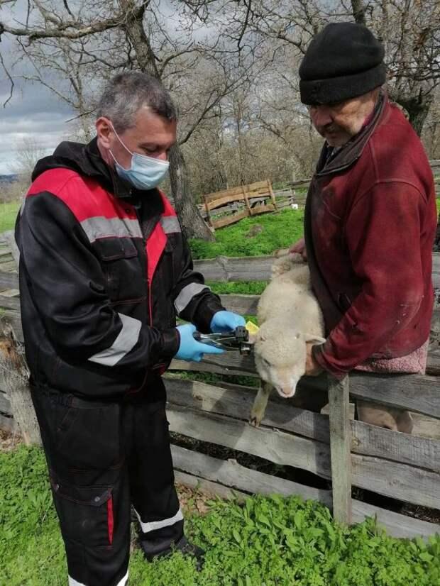 Специалисты ГБУ РК «Белогорский ВЛПЦ» проводят мероприятия по идентификации и учёту сельскохозяйственных животных