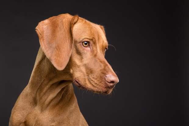 Собака, Животных, Домашнее Животное, Портрет, Браун
