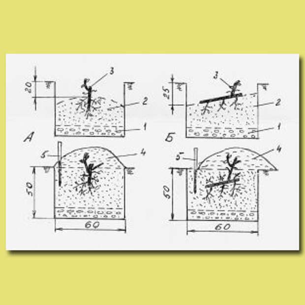 Схемы вертикальной и наклонной посадки саженцев винограда