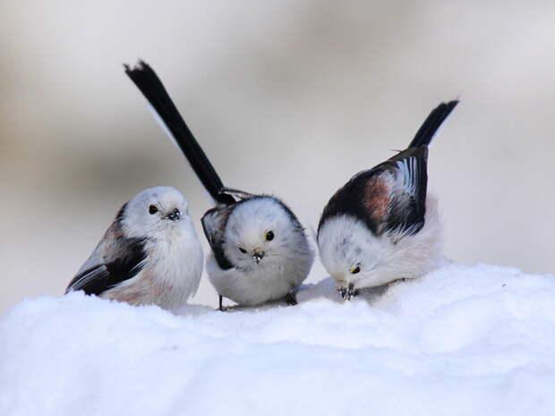 Птицы, зима / Обои: Животные
