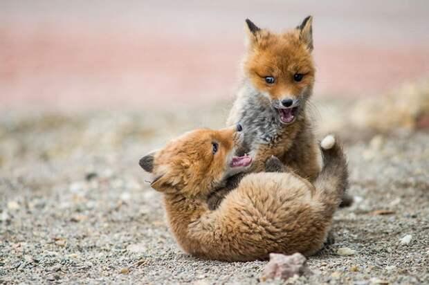 Горный инженер с Чукотки фотографирует лис