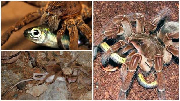 Пауки-птицееды: Враг среди своих. Гигантские пауки предпочитают истреблять всех остальных пауков