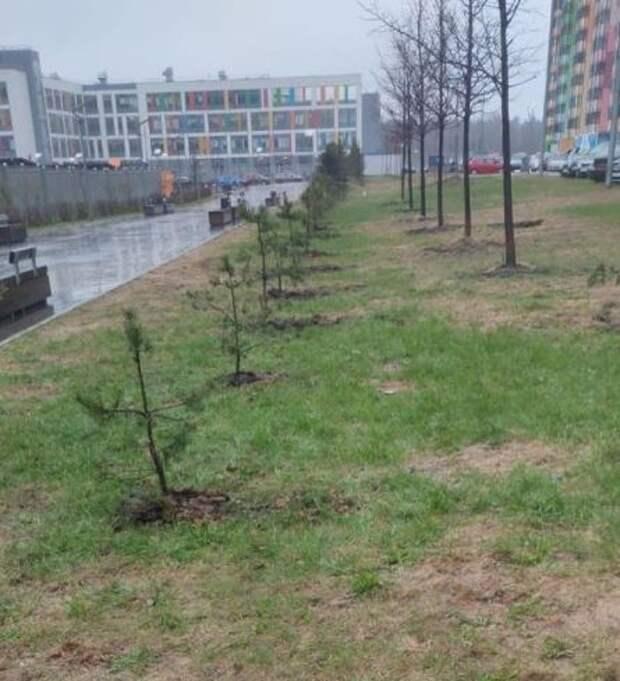 Вдоль «цветных» домов на Дмитровском шоссе теперь растут хвойные деревья
