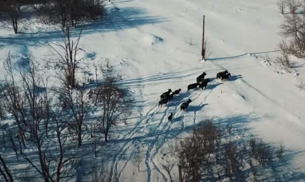 Ученых поразили живущие в Чернобыльской зоне коровы