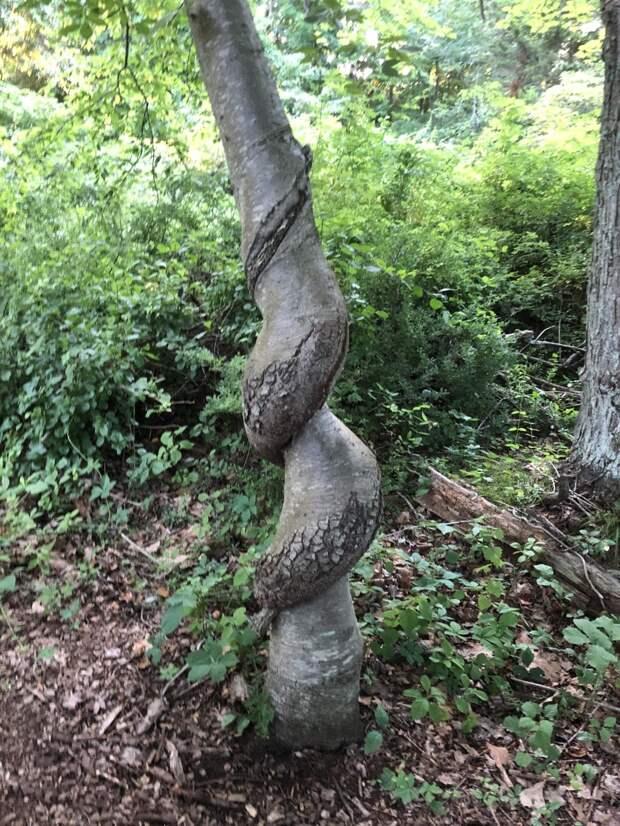 Явление и причины появления спиралевидной формы деревьев были предметом серьезных исследований, возможно, потому, что оно влияет на коммерческую ценность древесины