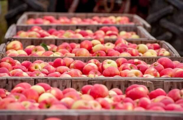 Чем объясняется медленный экспорт молдавских яблок в этом году