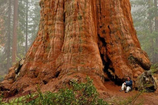 Самое большое дерево на Земле