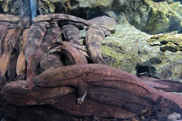 Исполинская саламандра: Чудо современного Китая