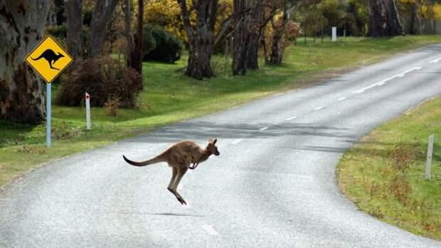 Движения кенгуру запутали беспилотные автомобили