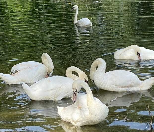 В Пенягинский пруд выпустят девять белых лебедей