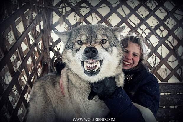 Исследование было опубликовано в журнале Scientific Reports. волк, животные, исследование