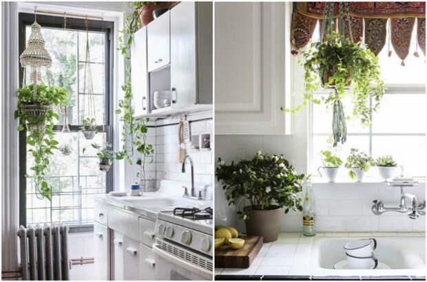 Декоративные комнатные растения в интерьере кухни. / Фото: ivybush.ru.