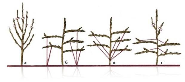 Так можно сформировать крону яблони, фото с сайта farmer35.ru