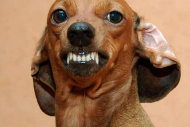 Самые злые маленькие собаки в мире
