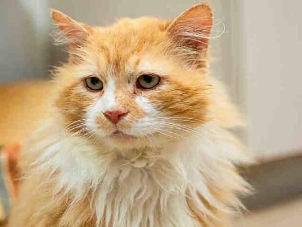 Грустная история со счастливым концом о коте, который прошел 12 миль, чтобы вернуться домой, где его никто не ждал