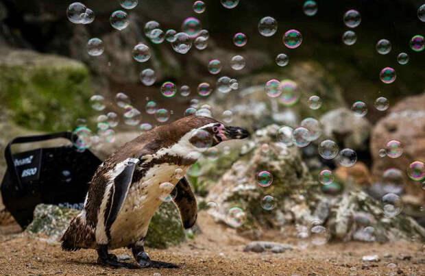 Зоологи вылечили депрессию пингвинов пузырьками