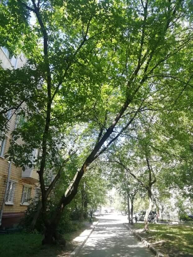 Опасно накренившееся дерево на улице Чугунные ворота проверят на устойчивость