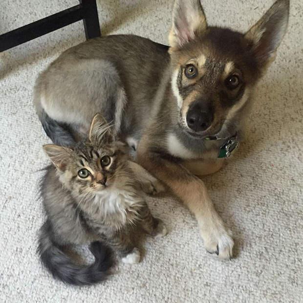 Эта хаски выбрала своего собственного котёнка, чтобы забрать его из приюта