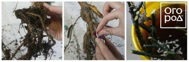 Обработка марганцовкой саженцев роз