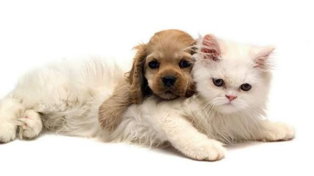 На фото видно, что пожилой кот не в восторге от игр со щенком, но терпит:)