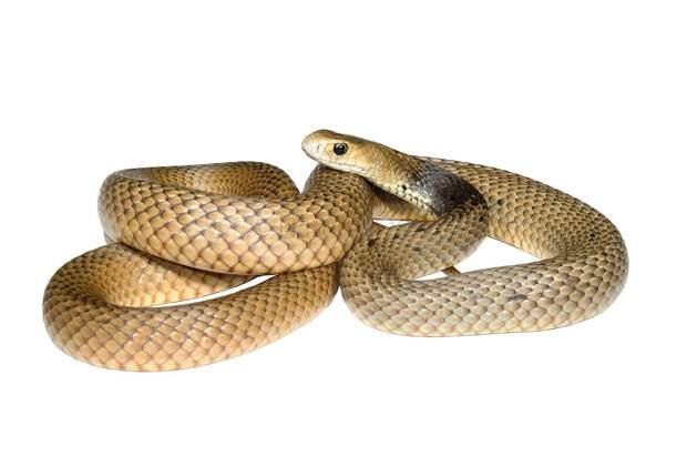 Муравей против змеи: кто победит?