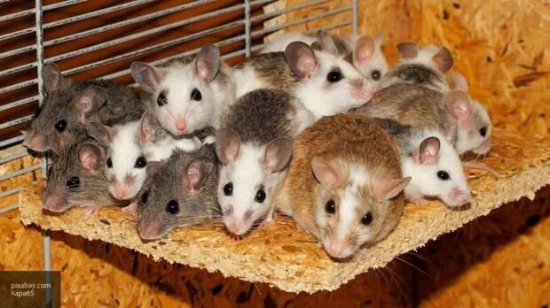 Мышей с Альцгеймером вылечили при помощи генной терапии
