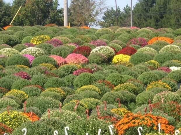 Выращивание хризантем является одним из наиболее привлекательных направлений цветочного бизнеса