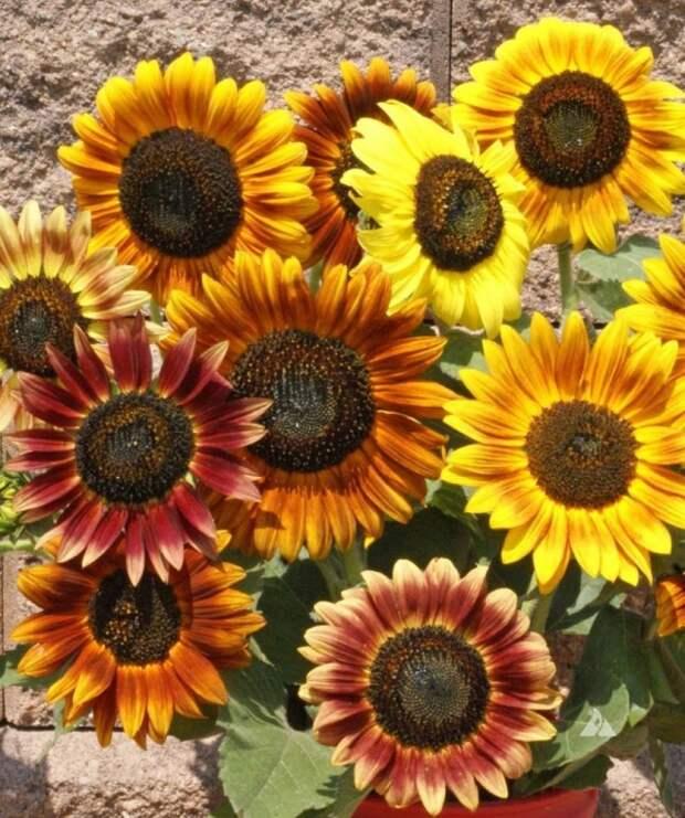 Соцветия декоративного подсолнечника