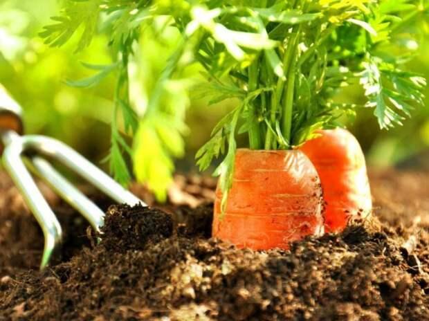 Маленькие секреты крупной моркови