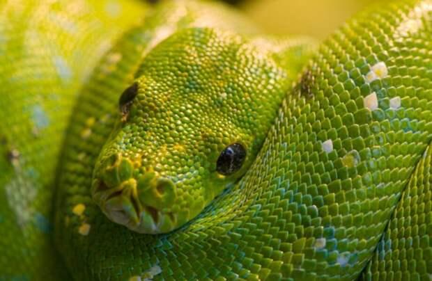 10 самых популярных мифов о змеях