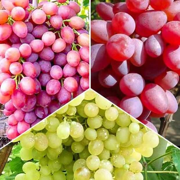 Когда и зачем надо прищипывать виноград.