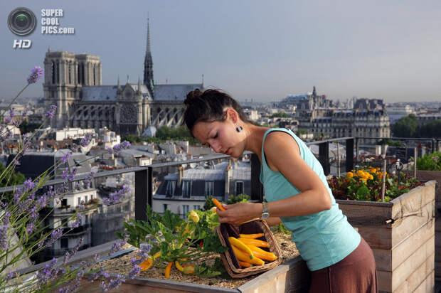 Франция. Париж. 23 июля. Студентка-биотехнолог Сибилла выращивает овощи на крыше здания в центре города. (REUTERS/Philippe Wojazer)